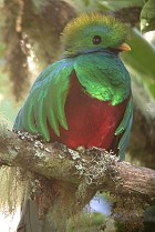 Resplendent Quetzal, national bird of Guatamala